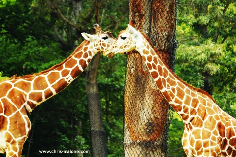 Giraffe talk at NC Zoo- Asheboro